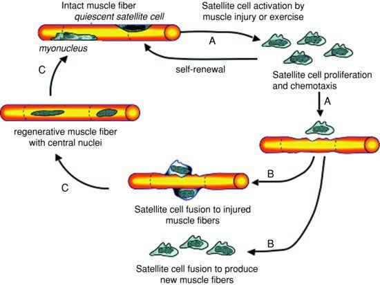 Schematic-representation-of-the-cycle-of-satellite-cell-activation-proliferation-and.png